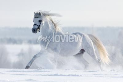 Papiers peints Biały de la galopuje w w polu zimie