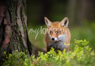 Papiers peints Chasse au renard en forêt européenne