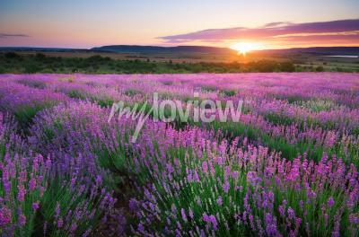 Papiers peints Meadow of lavender
