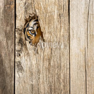 Papiers peints Siberian tiger eye in wooden hole in concept of secretly dangerous